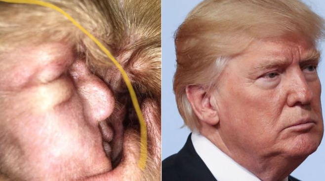 Donald Trump - oreille beagle