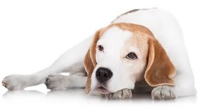 Espérance de vie du beagle