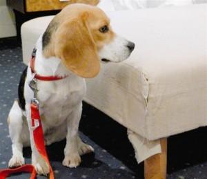 Beagle détective - Source : www.nicematin.com