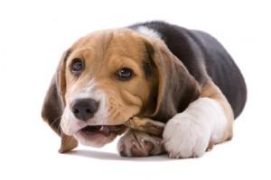 image beagle gourmand