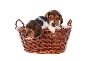 Beagles dans un panier