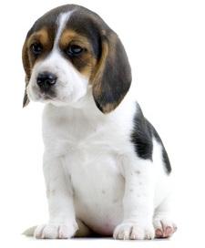 Profil du beagle