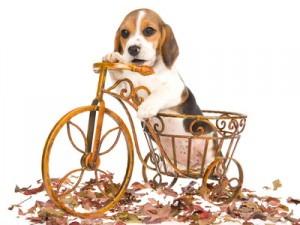 Beagle sur son vélo