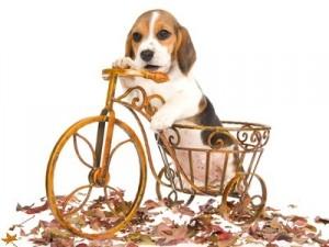 Beagle sur son vélo 2