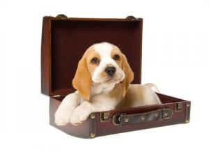 Chiot beagle dans une valise