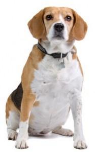 image beagle en surpoids