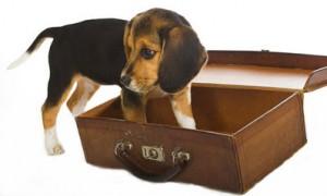 Chiot beagle sortant de la valise