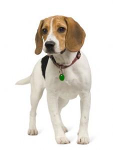 standard du beagle