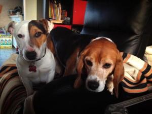 beagle et jack russel