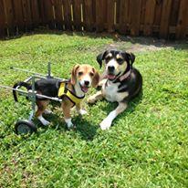 Howie, beagle handicapé