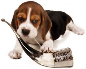 beagle et son cor