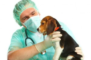Vétérinaire et beagle