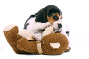 beagle et son ourson
