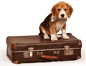 Origines du beagle