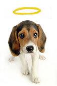 le beagle, un ange ?