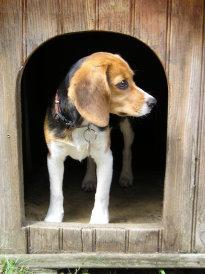 beagle niche