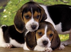 puzzle beagle chiots