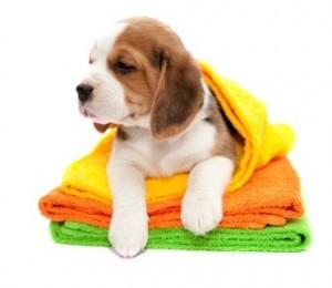 Soins du beagle