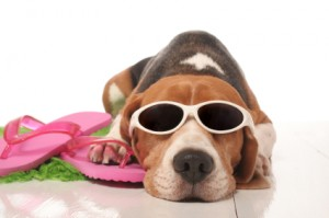 beagle en vacances