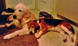 photo beagle et golden retriever