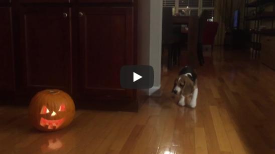 Vidéo beagle Halloween